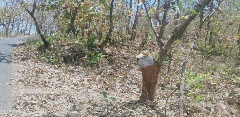 સીંગવડ:સરજુમીના આસપાસ જંગલોમાંથી કિંમતી સાગી લાકડાના ઝાડો ચોરાયા:વનવિભાગ આ મામલે અજાણ:પ્રકૃતિ પ્રેમીઓમાં રોષની લાગણી